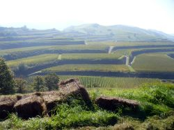 Wine terraces in the Kaiserstuhl